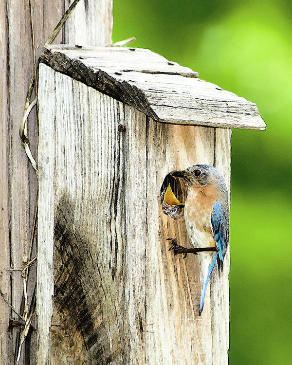 Eastern Bluebird Poster featuring the photograph Hello Baby by Betty LaRue