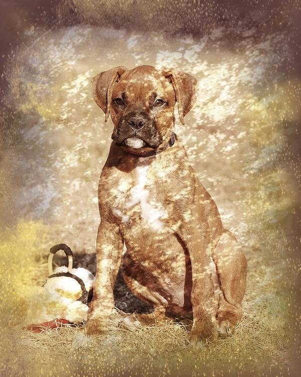 K9 Poster featuring the photograph Old Time Boxer Portrait by Angie Tirado