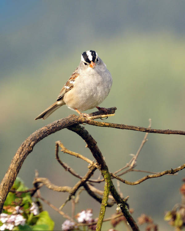 White Crowned Poster featuring the photograph White Crowned Sparrow by Laura Mountainspring