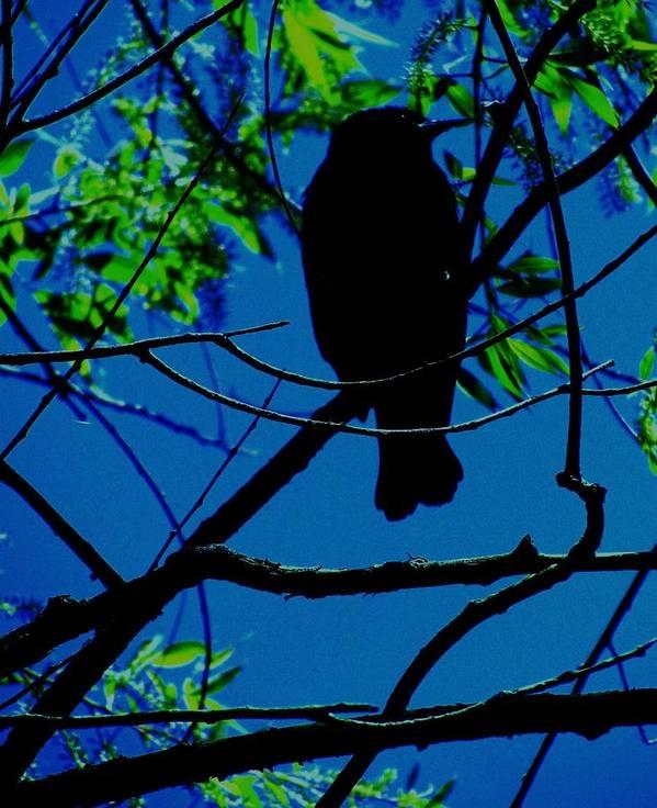 Creative Blackbird Poster featuring the photograph Blue-black-bird by Todd Sherlock