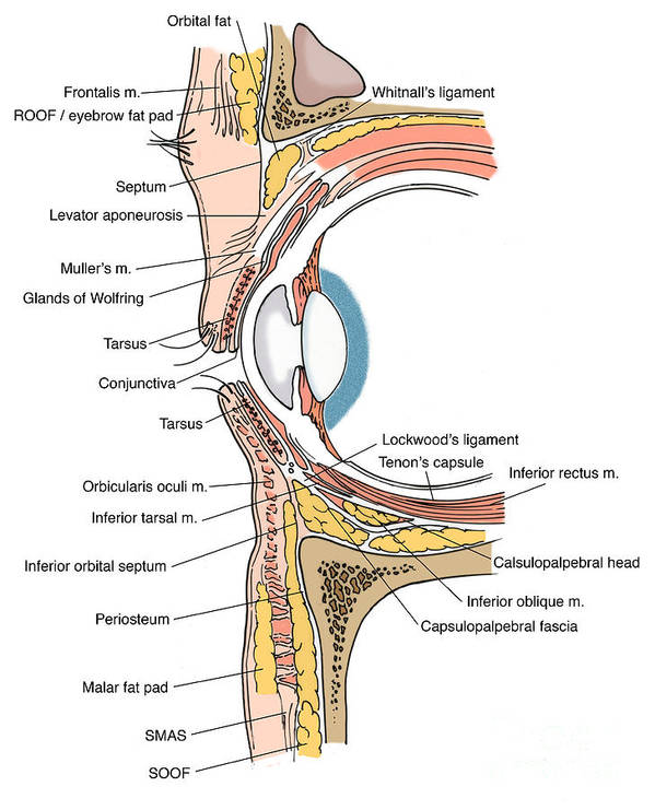 Anatomy Poster featuring the photograph Illustration Of Eye Anatomy by Science Source