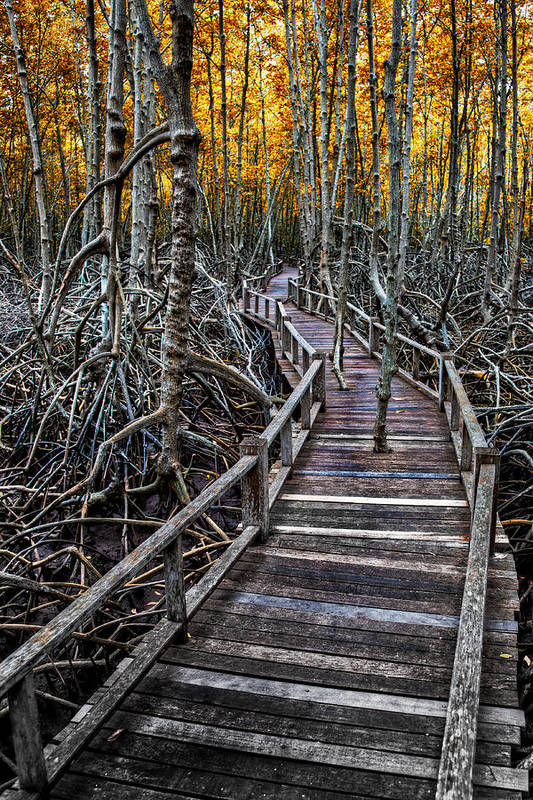 Area Poster featuring the photograph Footpath In Mangrove Forest by Adrian Evans
