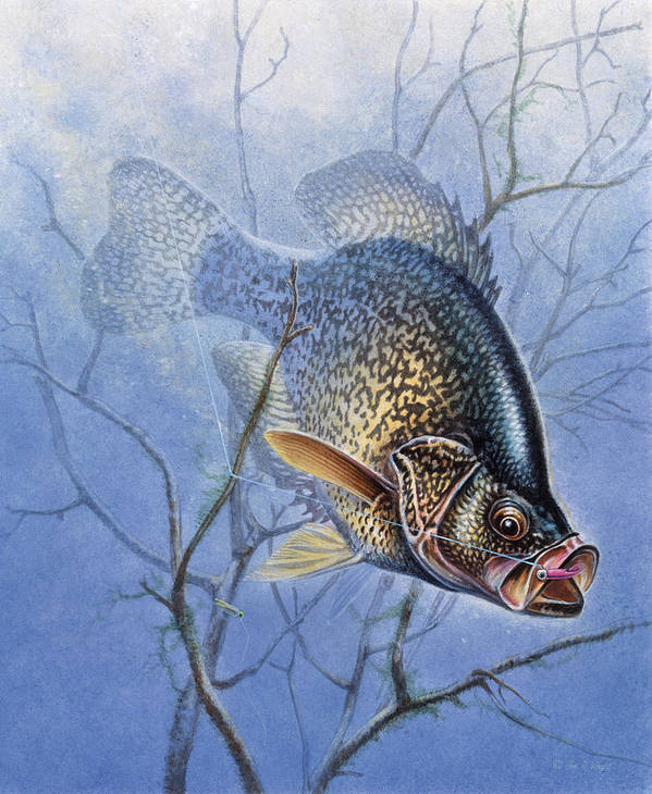 Jon Q Wright Poster featuring the painting Crappie Cover Tangle by JQ Licensing
