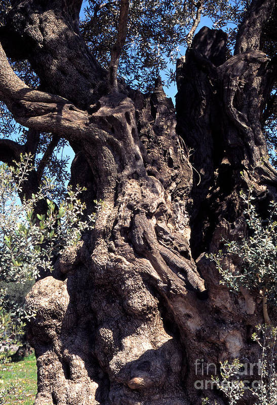 2000 Year Old Olive Tree Poster featuring the photograph 2000 Year Old Olive Tree by Thomas R Fletcher