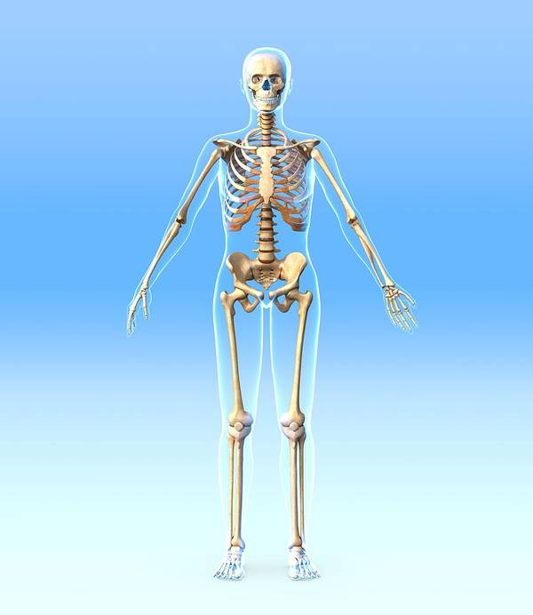 Human Poster featuring the photograph Female Skeleton, Artwork by Roger Harris
