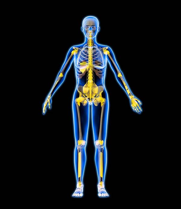 Human Poster featuring the photograph Skeleton And Ligaments, Artwork by Roger Harris
