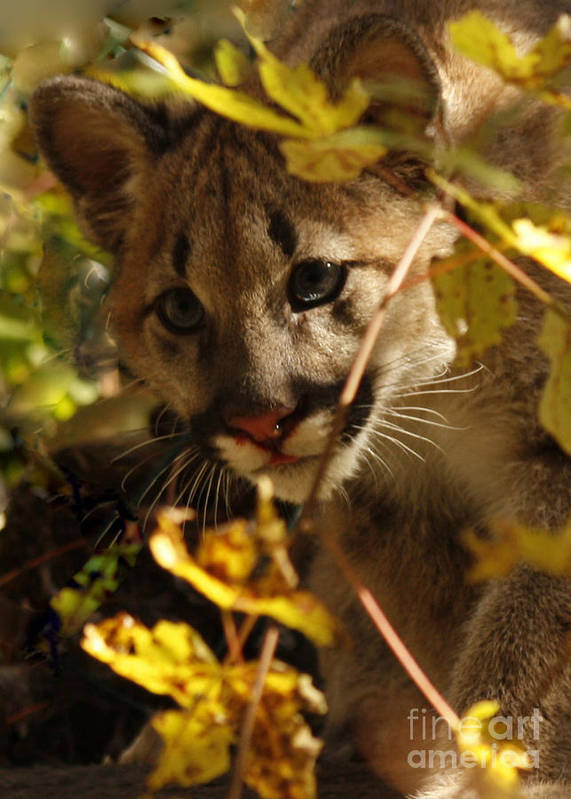 Baby Poster featuring the photograph Baby Cougar Watching You by Inspired Nature Photography Fine Art Photography