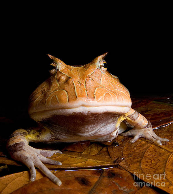 Ceratophrys Cornuta Poster featuring the photograph Amazonian Horned Frog by Dant� Fenolio
