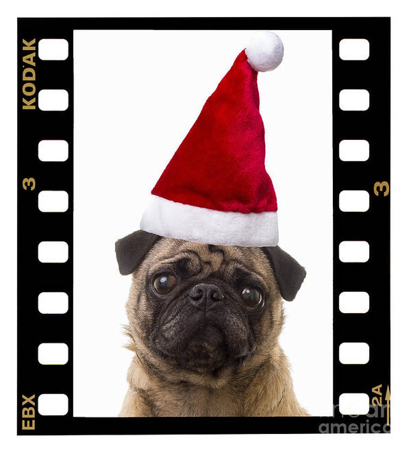 Pug Poster featuring the photograph Santa Pug - Canine Christmas by Edward Fielding