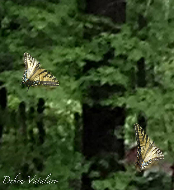 Butterfly Waltz Poster featuring the photograph Butterfly Waltz by Debra   Vatalaro