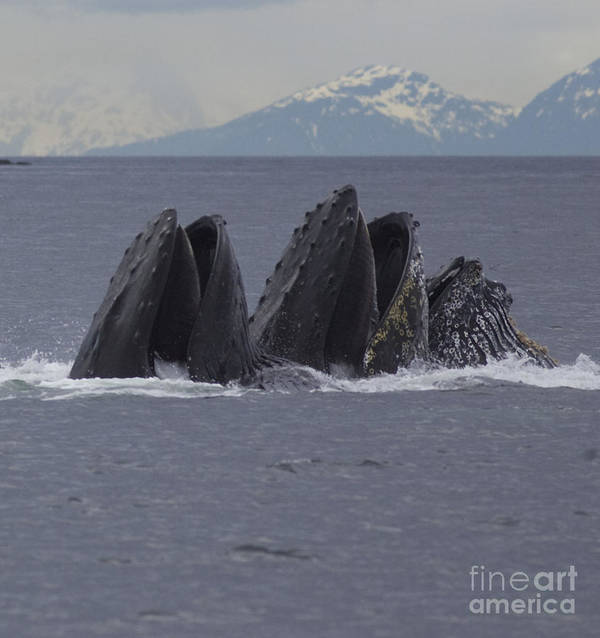 Humpback Whale Poster featuring the photograph Detail Of Humpback Whales Feeding by Tim Grams