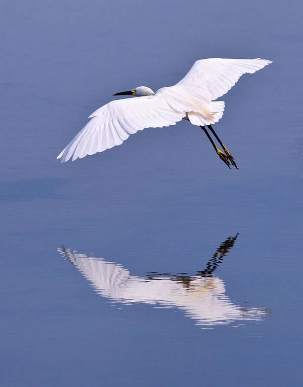 Egret Poster featuring the photograph Snowy Egret In Flight by Robert Jensen