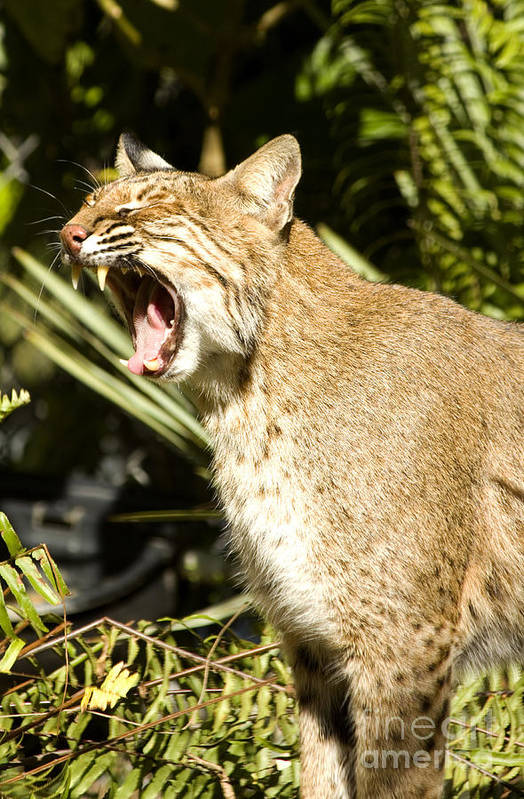 Wildlife Poster featuring the photograph Adult Florida Bobcat by Anne Rodkin