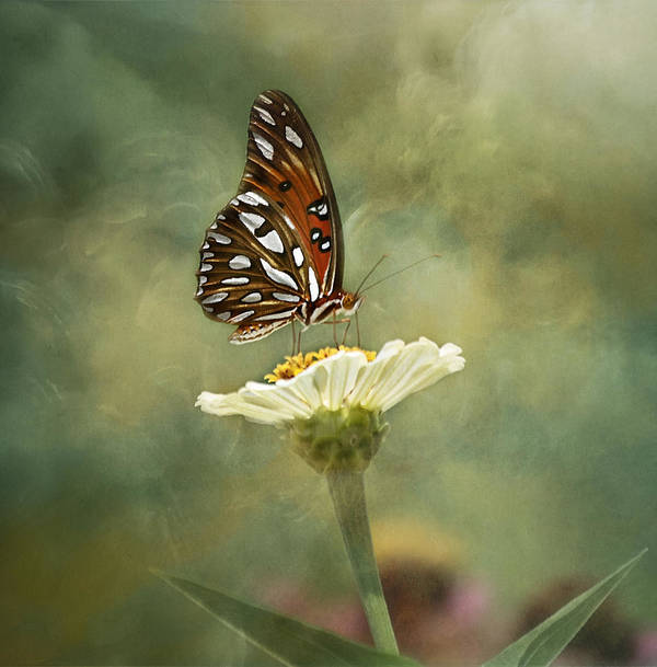 Butterfly Poster featuring the photograph Butterfly Dreams by Kim Hojnacki