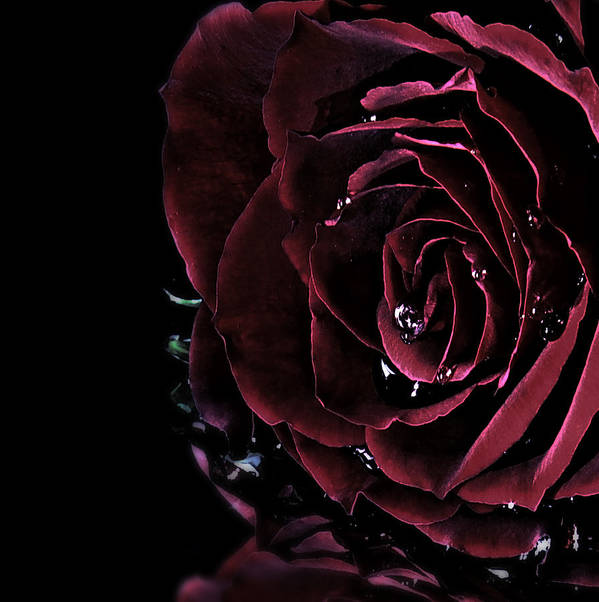 Roses Poster featuring the photograph Dark Rose 2 by Ann-Charlotte Fjaerevik