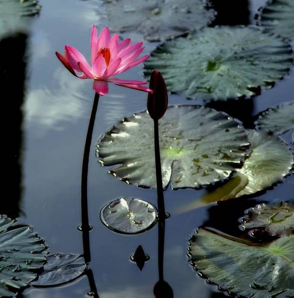 Water Lilly Poster featuring the photograph Morning Light by Karen Wiles