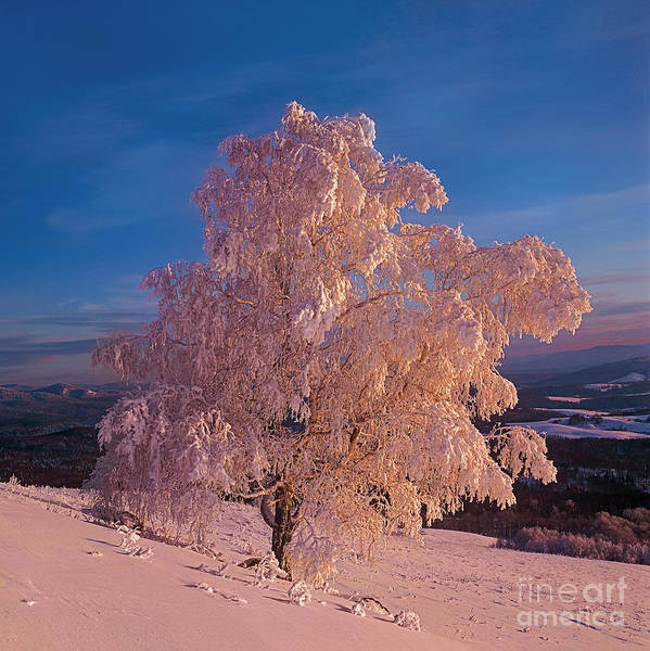 Snow Winter Photo Image Shot Photograph Photographs Siberia Russia Asia Altai Altay Siberian Frosty Sunset Sunrise Frost Hoarfrost Birch Tree Nature Landscape Sun Grey Haze Scenary Foothills Trunk White Morning Pink Red Blue Bright Countryside Branch White Winter Scene With Lonely Tree One Alone Covered With Cold Scene Taiga Forest Trees Poster featuring the photograph Birch by Elena Filatova