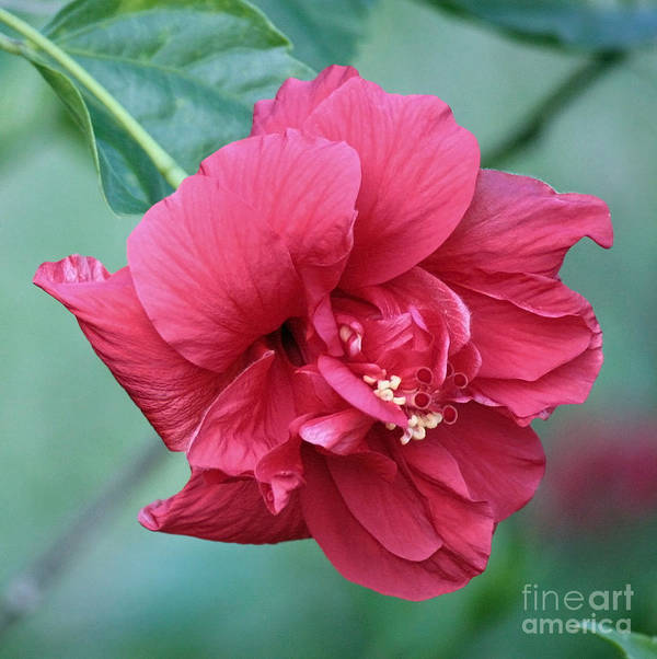 Hibiscus Poster featuring the photograph Double Hibiscus by Carol Groenen
