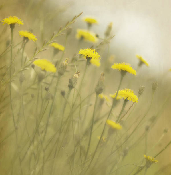 Dandelions Poster featuring the photograph In The Mist by Rebecca Cozart