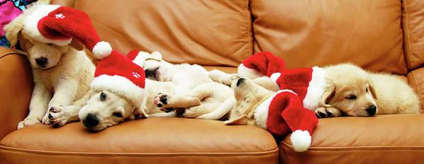 Horizontal Poster featuring the photograph Six Puppies Sleep On Sofa, Some Wear Santa Hats by Karina Santos