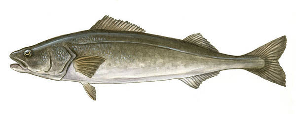 Black Poster featuring the painting Black Cod by Logan Parsons