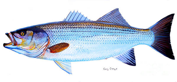 Striped Bass Poster featuring the painting Striped Bass by Carey Chen