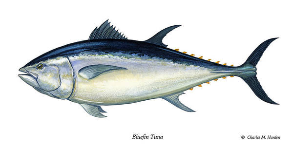 Charles Poster featuring the painting Bluefin Tuna by Charles Harden