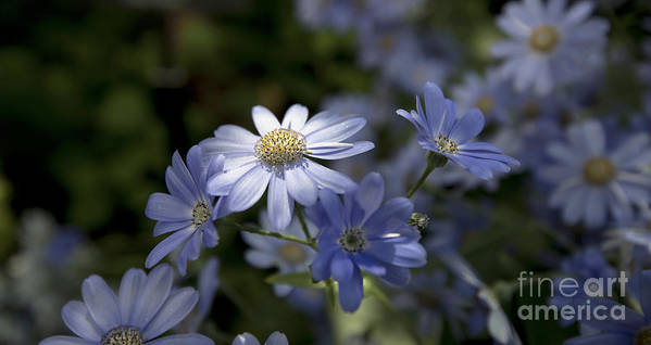 Blue Daisy Blue Flower Poster featuring the photograph Cineraria 1217 by Terri Winkler