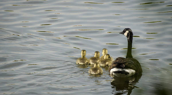 Duckling Poster featuring the photograph Swimming Lessons by Heather Applegate