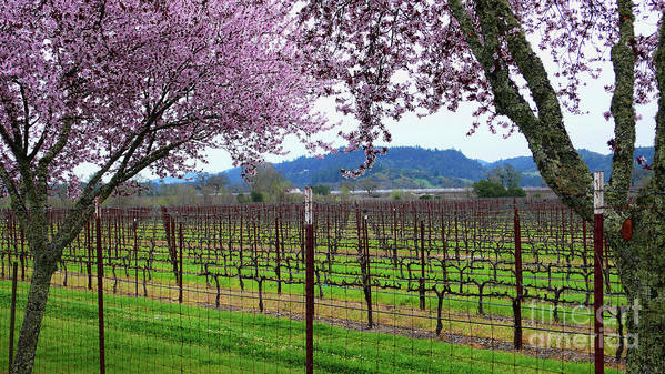 Calistoga Poster featuring the photograph Spring Blossoms Near Calistoga by Charlene Mitchell