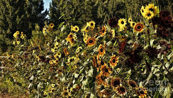 Sunflower Poster featuring the photograph Sunflower Fields Forever by Peggy Hughes