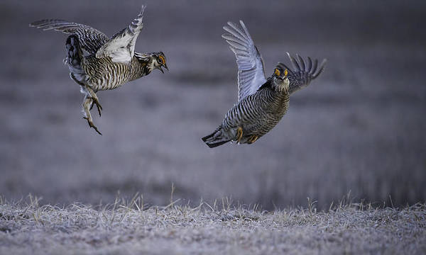 Prairie Chickens Poster featuring the photograph Fighting Prairie Chickens by Thomas Young