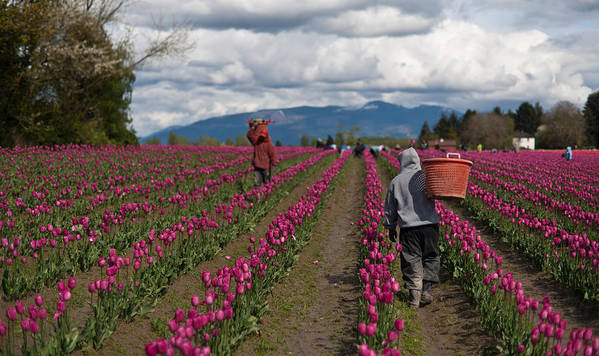 Tulip Poster featuring the photograph In The Tulip Fields by Mike Reid