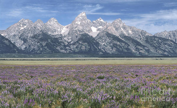 Grand Teton Poster featuring the photograph Lupine And Grand Tetons by Sandra Bronstein