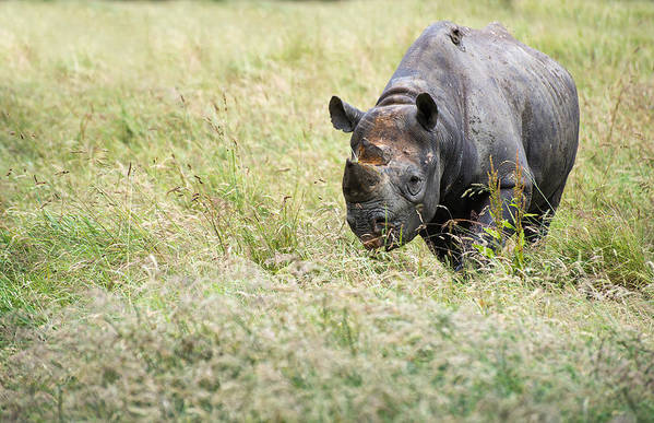 Animal Poster featuring the photograph Black Rhinoceros Diceros Bicornis Michaeli In Captivity by Matthew Gibson