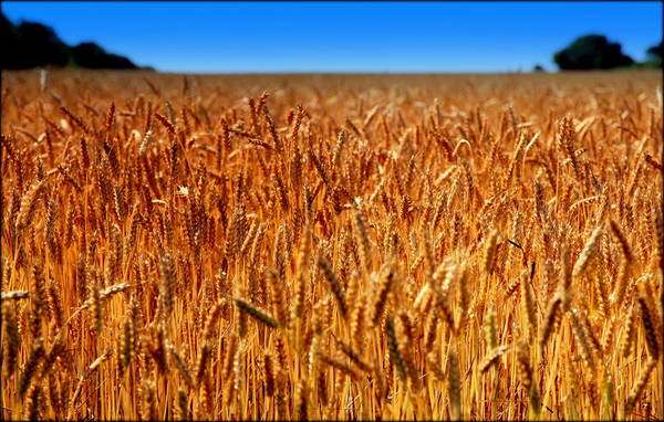 Wheat Poster featuring the photograph Lying In The Rye by Karen Wiles