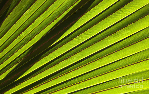 Palm Leaf Poster featuring the photograph Palm Lines by Mike Dawson