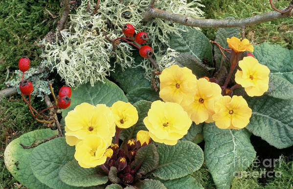 Primrose Poster featuring the photograph Primroses by Archie Young