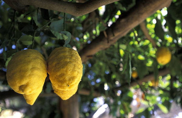 Lemons Poster featuring the photograph Lemons Hanging From A Lemon Tree by Richard Nowitz