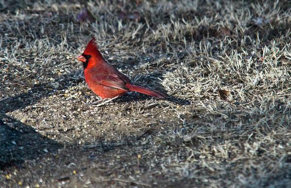 Arkansas Poster featuring the photograph Winter Redbird by Douglas Barnett