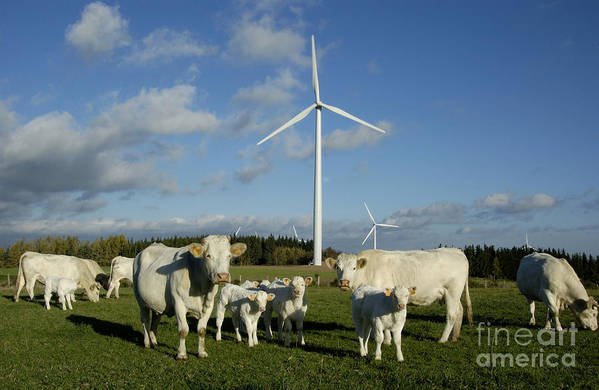 Sky Poster featuring the photograph Cows And Windturbines by Bernard Jaubert