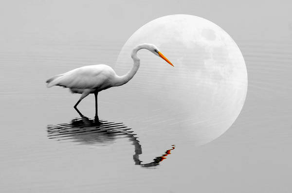 Bird Poster featuring the photograph Egret With Moon by Diana Angstadt