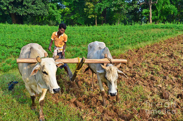 Indian Poster featuring the photograph Indian Farmer Plowing With Bulls by Image World