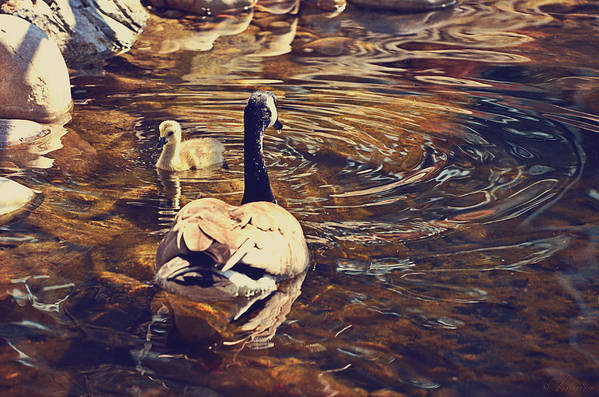 Mother Goose Poster featuring the photograph Swimming With Mom by Maria Angelica Maira