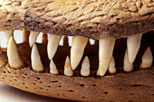 Alligator Skull Teeth Poster featuring the photograph Alligator Skull Teeth by Garry Gay
