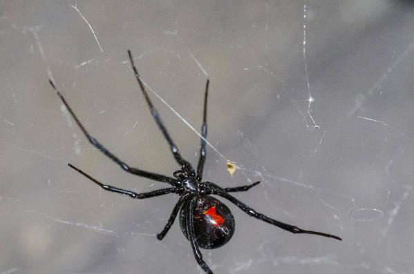 Black Widow Spider Poster featuring the photograph Black Widow Spider by Scott McGuire