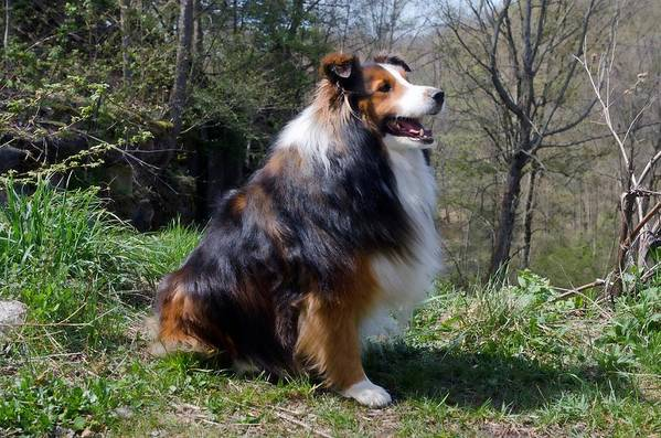 Collie Poster featuring the photograph Enjoying The View by Cheryl Cencich