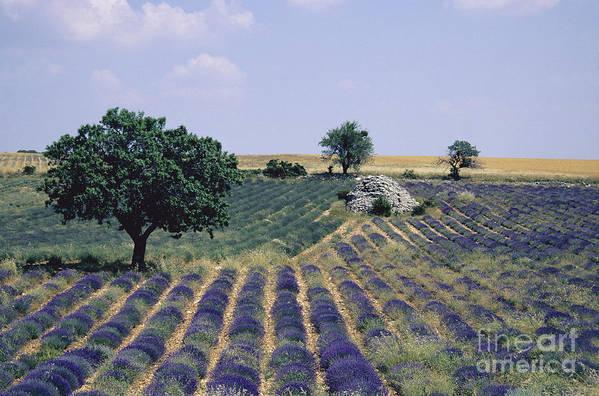 The Tourist Trade Poster featuring the photograph Field Of Lavender. Sault. Vaucluse by Bernard Jaubert
