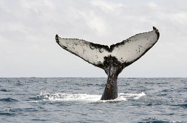 Horizontal Poster featuring the photograph Humpback Whale Tail by Photography by Jessie Reeder