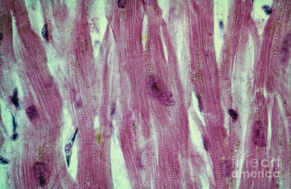 Cell Poster featuring the photograph Lm Of Cardiac Muscle by AFIP/Science Source
